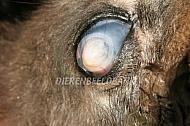 Ernstige corneaperforatie