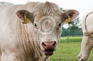 Charolais jonge stier
