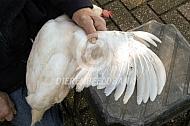 Kortwieken van een kip