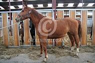 Paard met oedeem