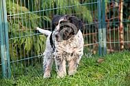 Pup van de Nederlandse schapendoes