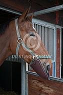 Paard met antibijtkap