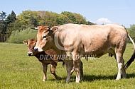 Marachine vee met kalf