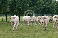Charolais koeien