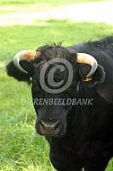 Dexter koe met horens