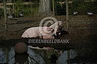 Roze varkens bij hun modderpoel