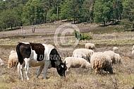 Heidekoetje met Veluwse heideschapen