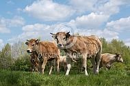 Marachine koeien