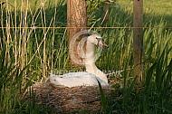 Broedend Knobbelzwaan op nest