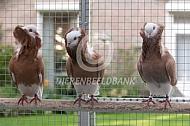 Oud Hollandse kapucijn duif
