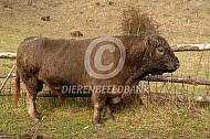 Bruine Galloway stier