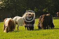 Shetlanders in een nieuwe wei