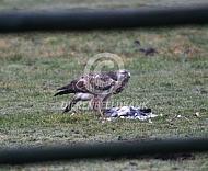 Buizerd eet een duif