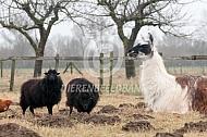 Liggende lama met Ouessant schapen