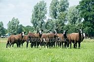 Kudde zwartbles schapen