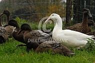 Hollandse krombekeend