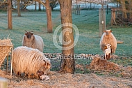 Drents heideschaap met pasgeboren lam