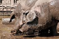 Iberico varken in de modder