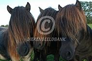 Drie shetlanders