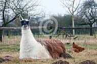 Liggende lama met een kip