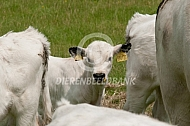White Park cattle kalf