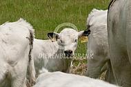 White Park cattle kalf