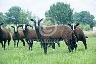 Zwartbles schapen
