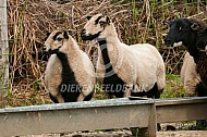 Badger Face Welsh Mountain schapen