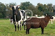Mini zeboe met schaap