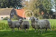 Friese melkschapen