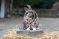 Minirex of kleinrex konijn (Koningsmantel KMS)