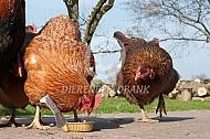 Kippen eten kattenvoer