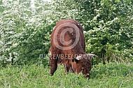 Rode geus stier tussen de meidoorns
