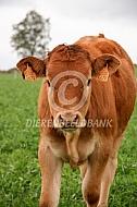 Limousin kalf