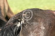 Paard met staart en manen eczeem