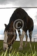 Grazend paard met bles