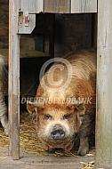 Kunekune beer  in zijn hok