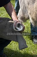 Hoefverzorging ezel