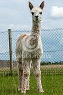 Suri alpaca crai