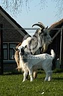 Nederlandse Landgeit met lam