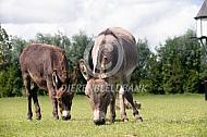 Twee mini-ezels