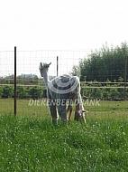 Geboorte van een alpaca
