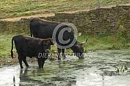 Heckrund koe en kalf bij poel