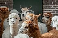 Groep gecastreerde alpaca's