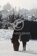 Paarden in de winter