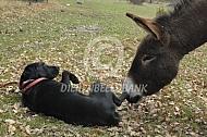 Ezel snuffelt aan de hond