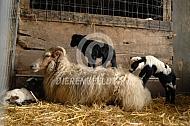 Drents heideschaap op stal met lammeren
