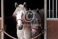Twee paarden delen een stal