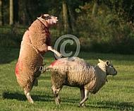 Dekking van een schaap