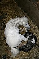 Amirikaans miniatuurpaard met veulen